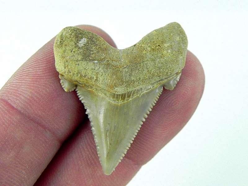 Angustiden Shark Tooth