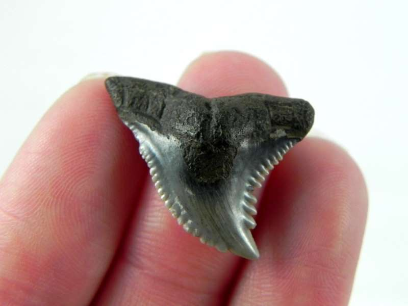 Hemipristis Shark Tooth