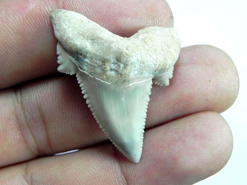 AURICULATIS Shark Tooth
