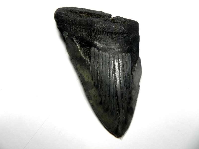 Megalodon Shark Tooth