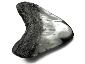 Polished Megalodon Tooth