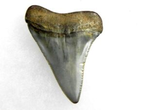 Fossil Great White Tooth