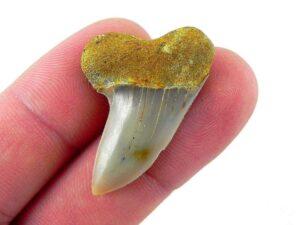 Fossil Mako Shark Tooth