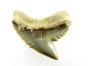 Fossil Tiger Shark Tooth